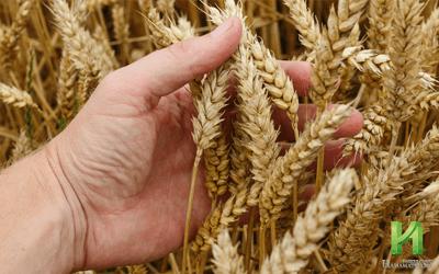 EDビジネスはとにかくもうかる?小麦と麦芽糖で作る中国の偽バイアグラ